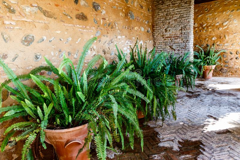 Potted green plants - Old World Forkedfern Dicranopteris linearis at ancient wall in a beautiful small courtyard of Alhambra, Gr. Potted green plants - Old World stock photography
