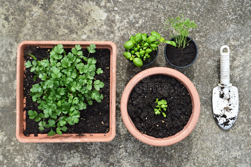 Potted herbs royalty free stock photography