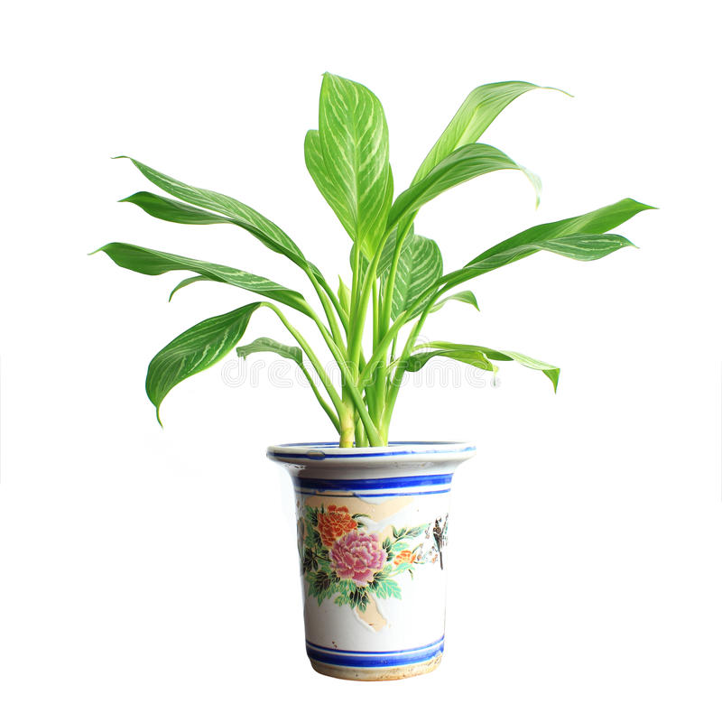 Potted. Home plant in flowerpot. Isolate on white stock photography