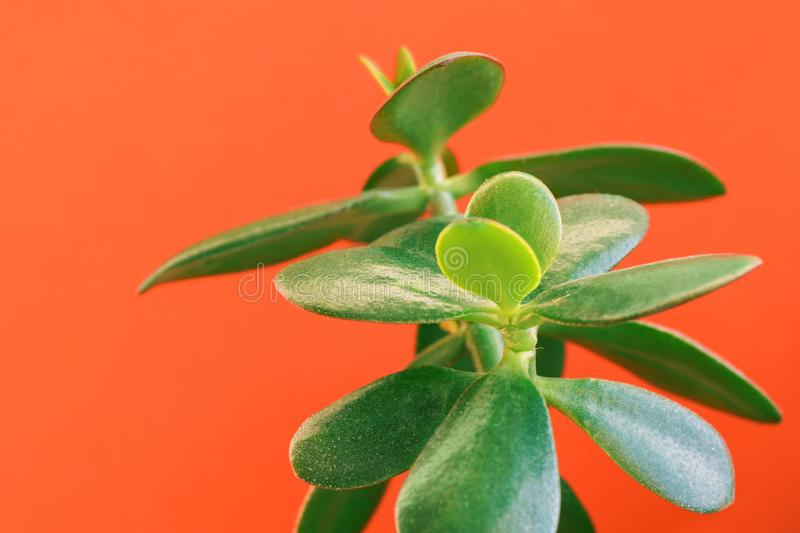 Potted jade houseplant money tree on painted trendy orange golden poppy wall background. Fresh green vibrant leaves stock images