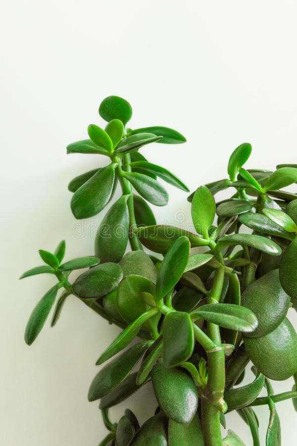 Potted jade plant money tree on painted white background. Fresh green vibrant leaves. Room plants interior decoration urban jungle royalty free stock photography