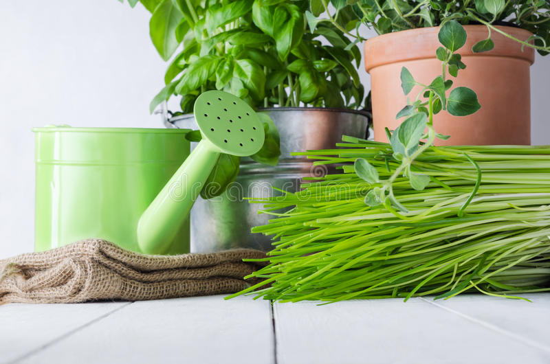 Potted Kitchen Herbs. A selection of potted home grown culinary herbs on an old white painted wood table with watering can and hessian sack. Representing kitchen stock photography