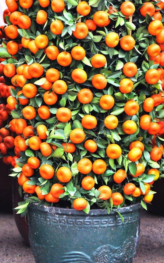 Potted kumquat trees