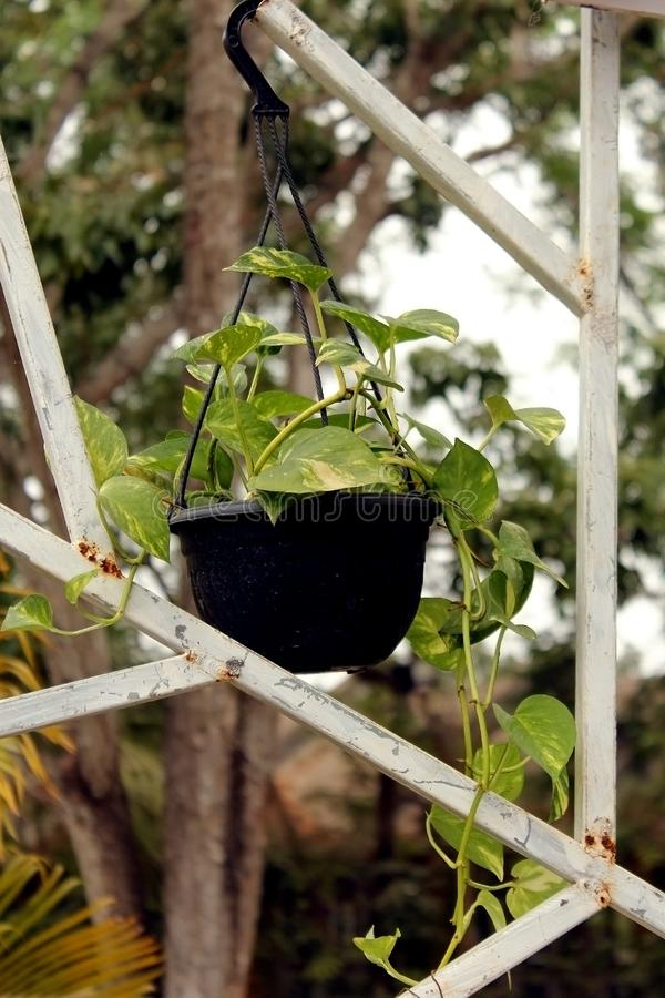 Potted Money Plant hanging on garden frame royalty free stock photos