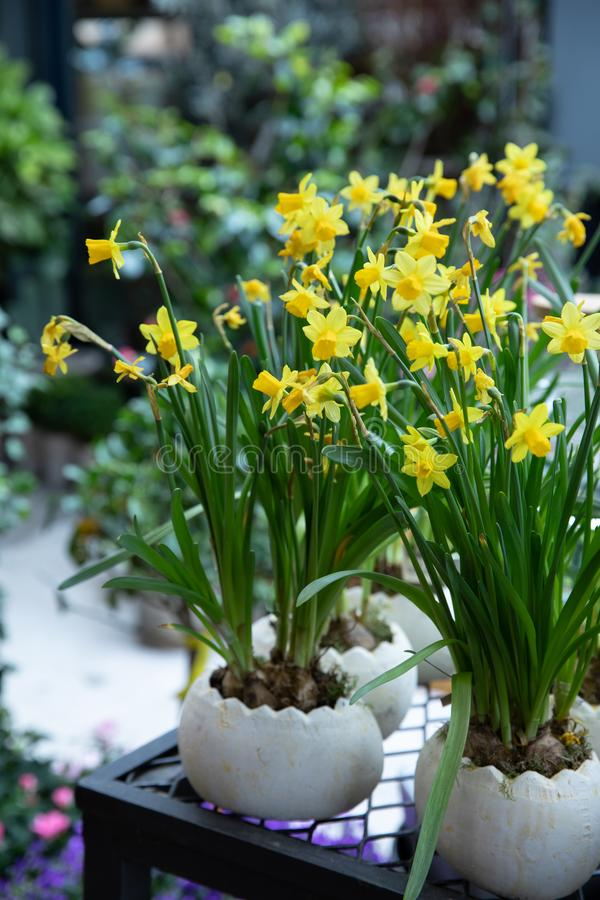 Potted Narcissus, Tazetta daffodils Division 8 Avalanche flowers blooming in the garden shop in spring time. stock images