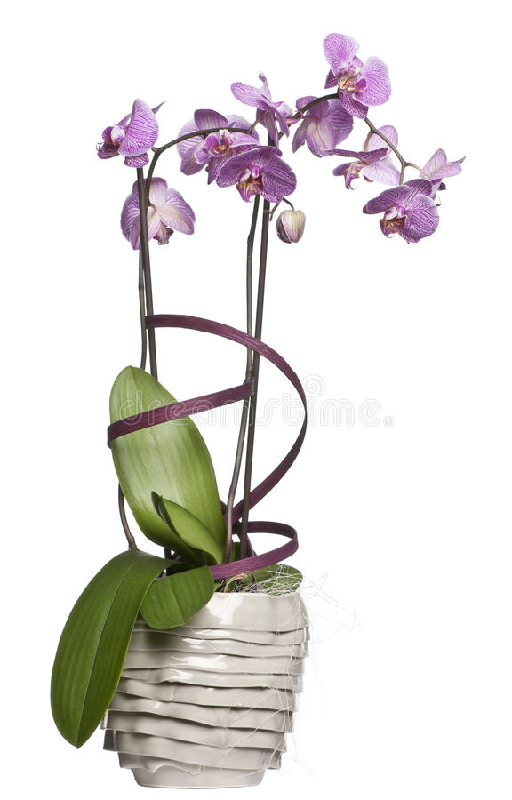 Potted orchid flowers. In front of white background royalty free stock photography