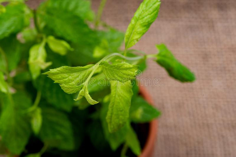 Potted Organic Peppermint Plant with roots in fertilized soil  isolated on natural burlap . Species: Mentha x Piperita. Potted Organic Peppermint Plant with royalty free stock photography
