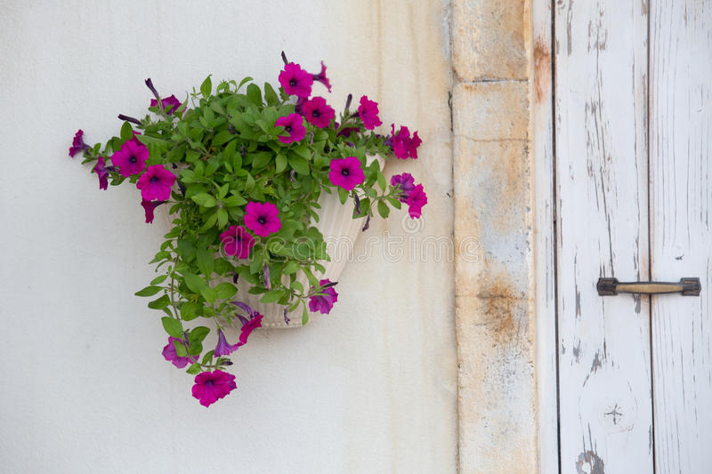 Potted Petunia On The White Wall Royalty Free Stock Photography