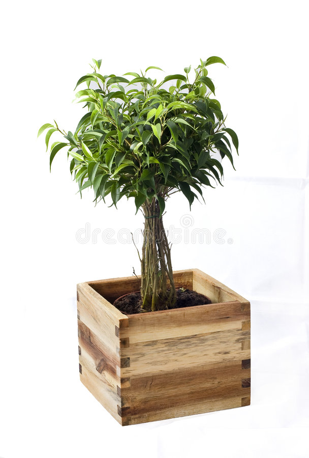 Potted plant. Rubber tree planted in pot royalty free stock photography