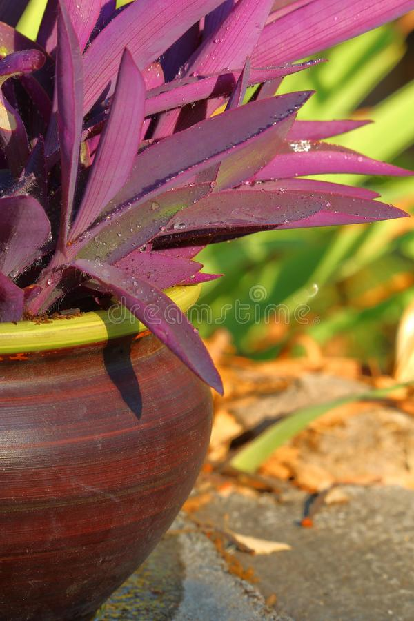 Fantastic purple leaves for this houseplant and beautiful reen bokeh in the background. Potted plant garden golden hour raindrops dew green purple bright colors royalty free stock image