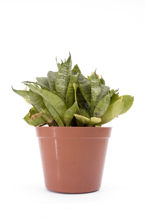 Potted plant isolated royalty free stock photography