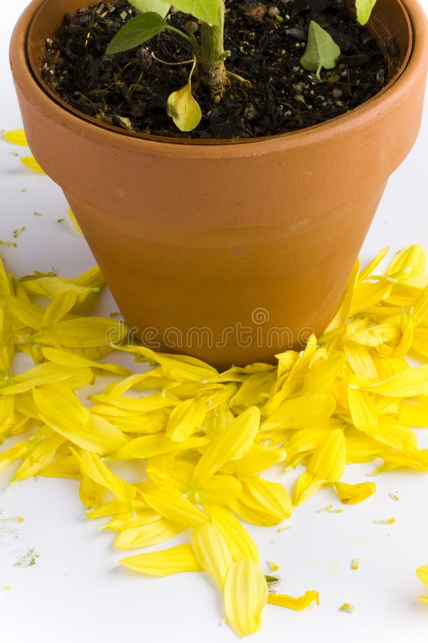Potted plant shedding flower petals royalty free stock photo