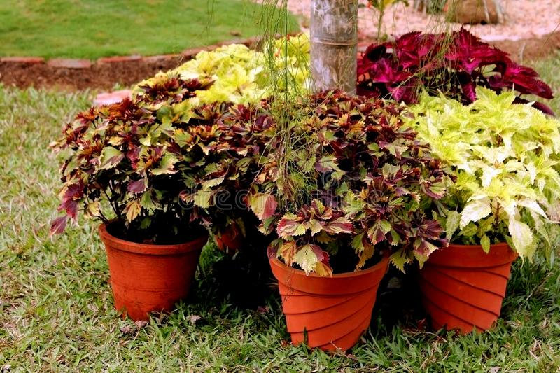 Potted Plants with different colors of leaves stock photos