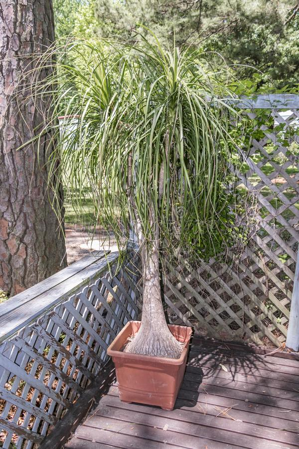 Potted Ponytail Palm Plant stock photos