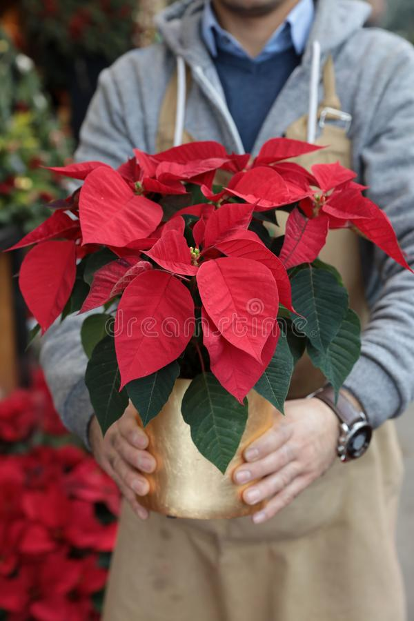 Potted red poinsettia or Euphorbia pulcherrima in the florist hands traditional flower gift for Christmas holidays. royalty free stock images