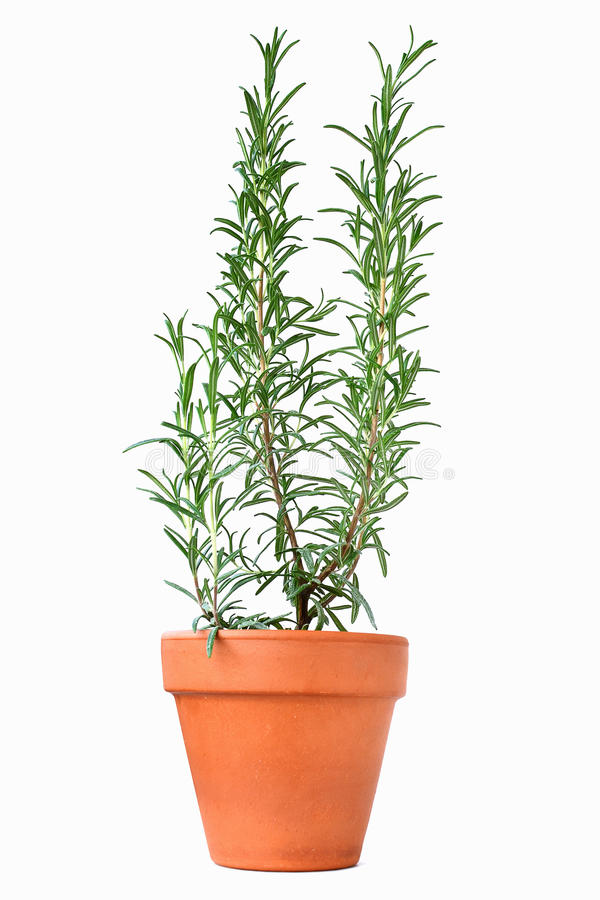 Potted rosemary plant stock photos