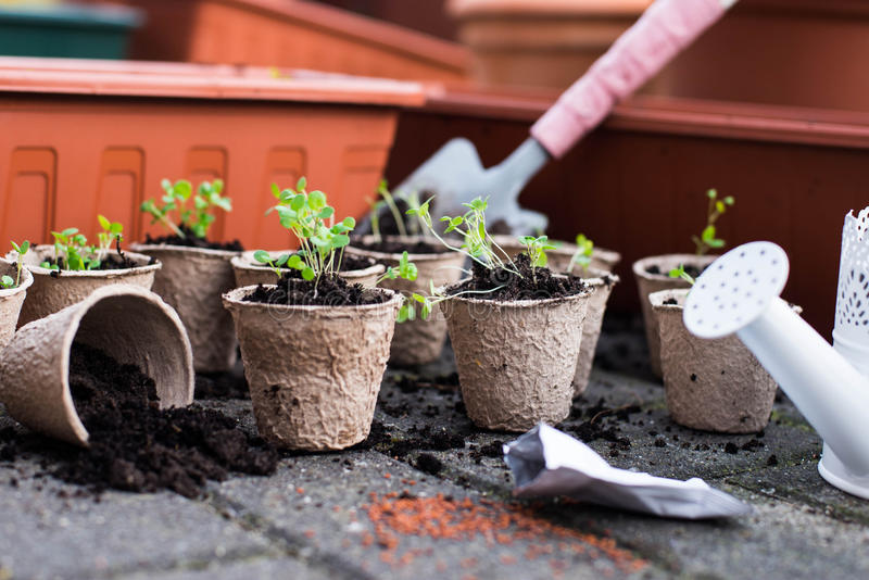 Potted seedlings growing in biodegradable peat moss pots from above. stock photos