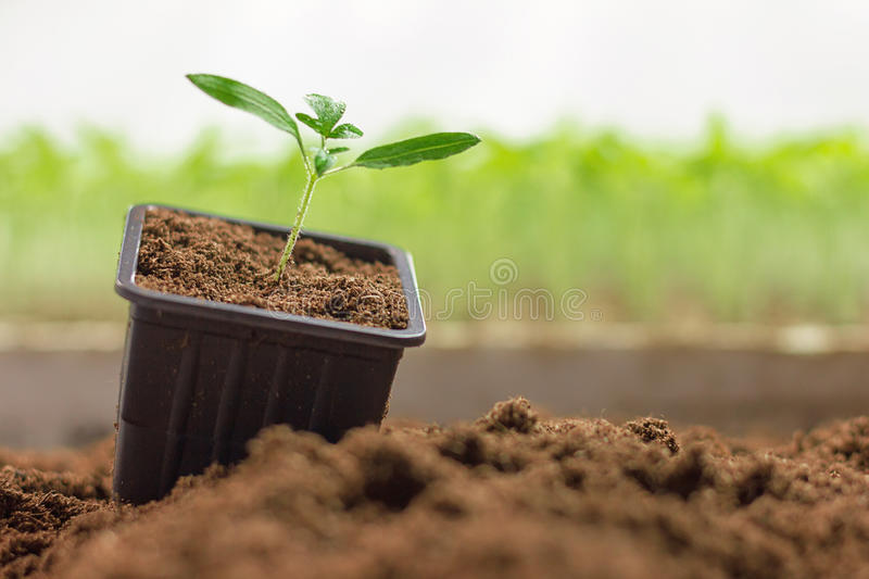 Potted seedlings growing. Small plant growing in clay pot stock image