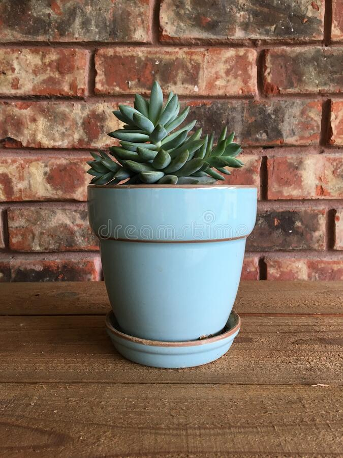 Potted Succulent with Red Brick Wall royalty free stock images