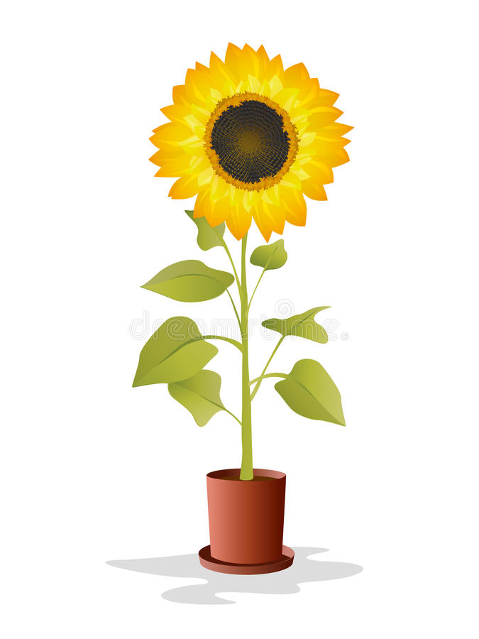 Potted sunflower royalty free illustration