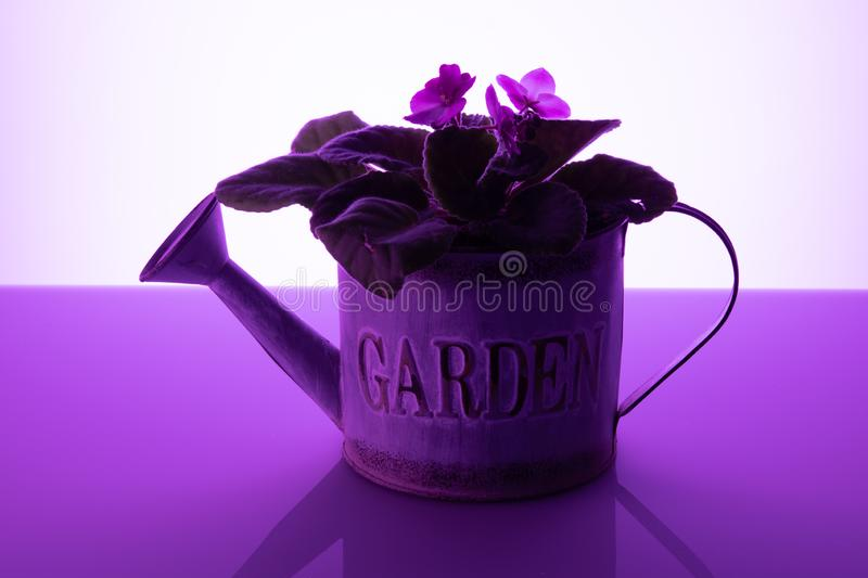 Potted violets watering can purple background stock photos