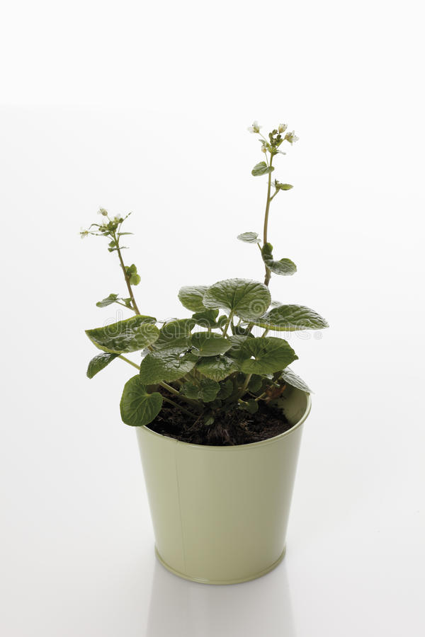 Potted wasabi royalty free stock photography