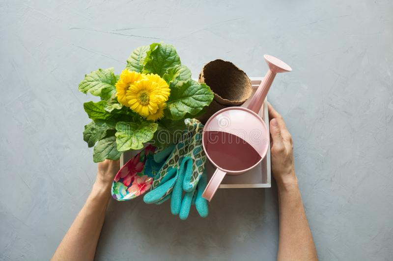 Potted yellow gerbera flowers for planting in the ground, seedling. Box with gardening tools in female hands on gray concrete stock images