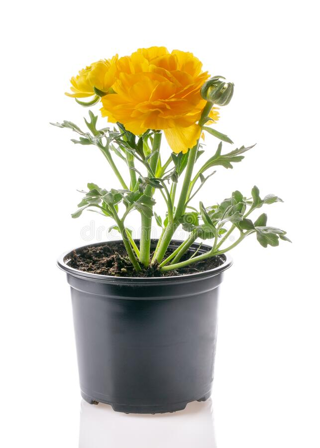 Free Potted Yellow Ranunculus Ranunculaceae Flower Isolated On White. Flowering Plants For Your Garden. Gardening Concept Royalty Free Stock Photography - 176880057