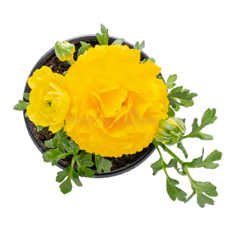 Free Potted Yellow Ranunculus Ranunculaceae Flower Isolated On White. Flowering Plants For Your Garden. Gardening Concept. Top View Stock Images - 176879994