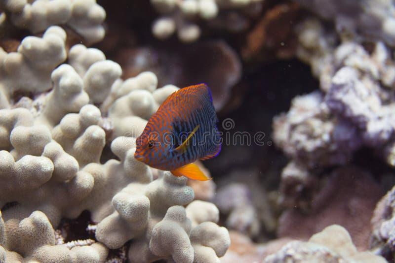 Potter' esquatina de s em Coral Reef foto de stock royalty free