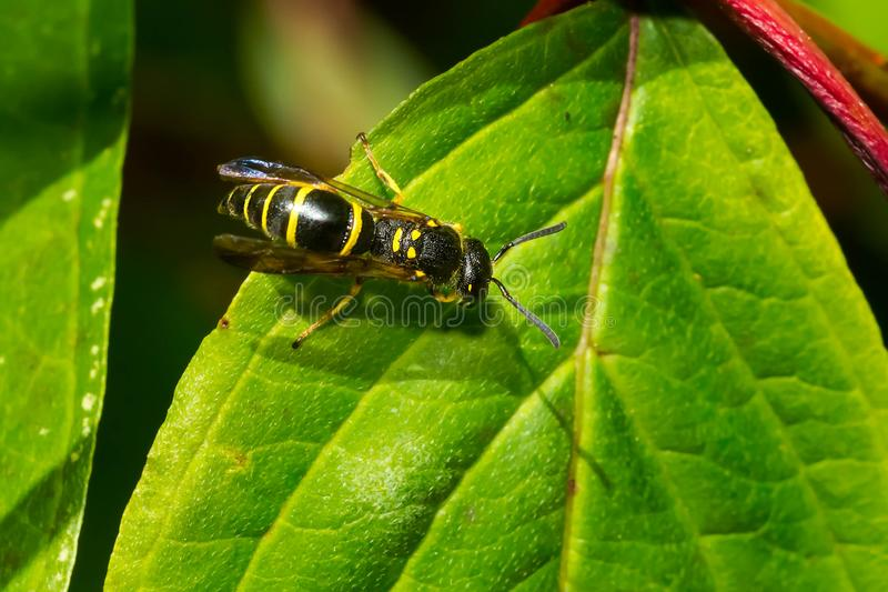 Potter Wasp - Ancistrocerus adiabatus. A Potter Wasp is resting on a green leaf. Also known as a Mason Wasp. Todmorden Mills Park, Toronto, Ontario, Canada stock image