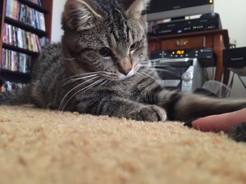 Pottkattstrimmig katt som är nyfiken om att anfalla fingret royaltyfria foton