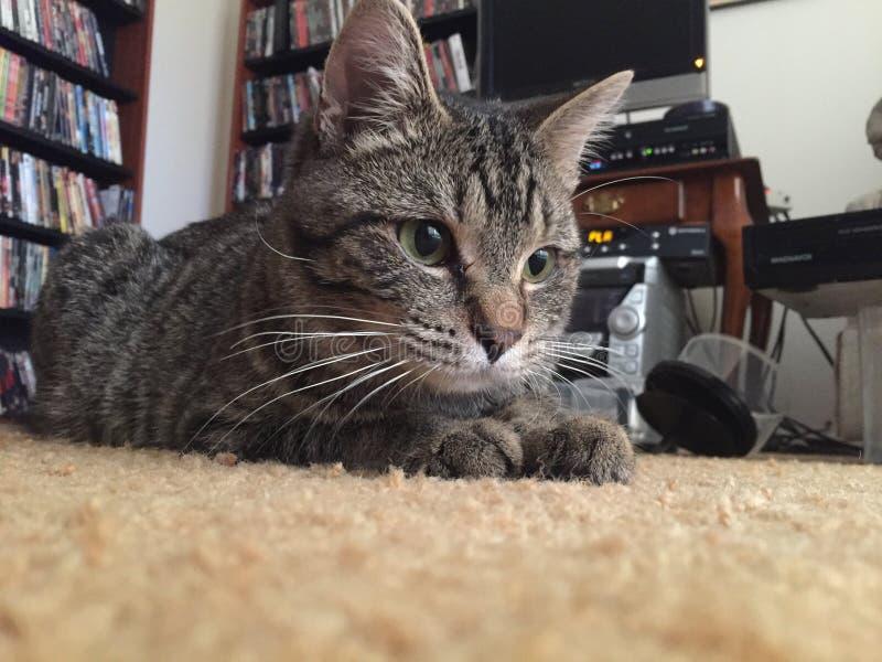 Pottkattstrimmig katt som ner lägger arkivfoton