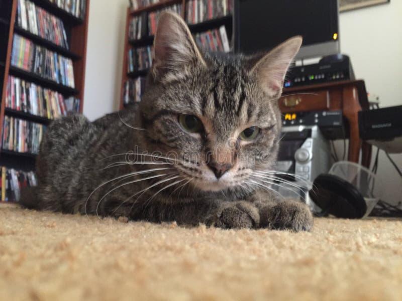 Pottkattstrimmig katt som ner lägger arkivbild