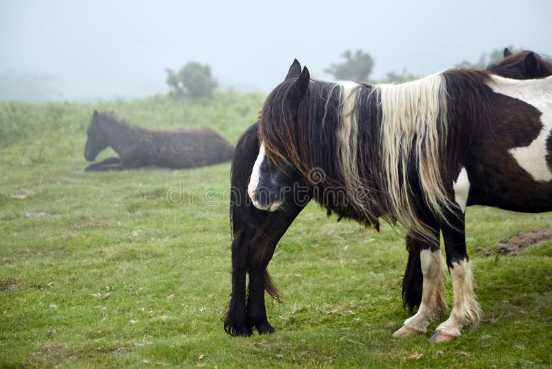 Pottok, brązu koń z długim grzywy pasaniem w paśniku, trakenu miejscowy Pyrenees obrazy royalty free