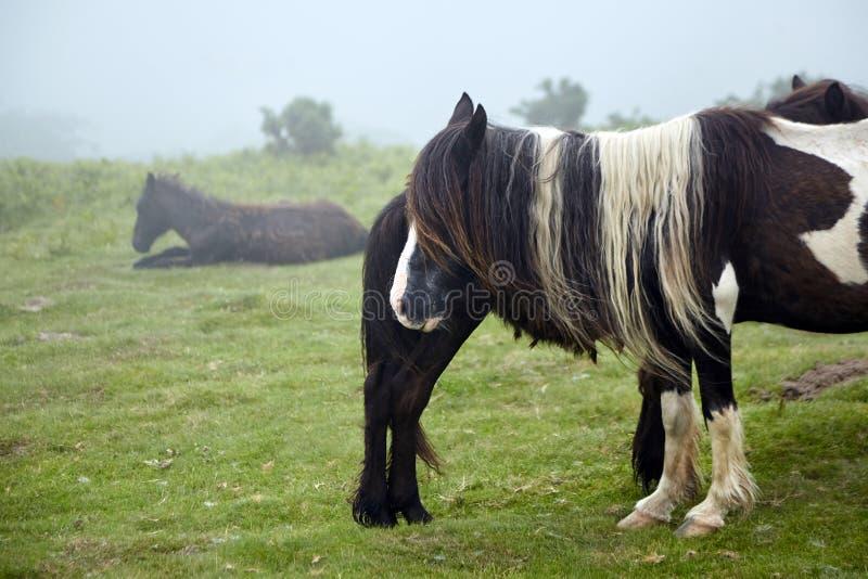 Pottok, cheval brun avec une longue crinière frôlant dans le pâturage, indigène de race vers les Pyrénées images libres de droits