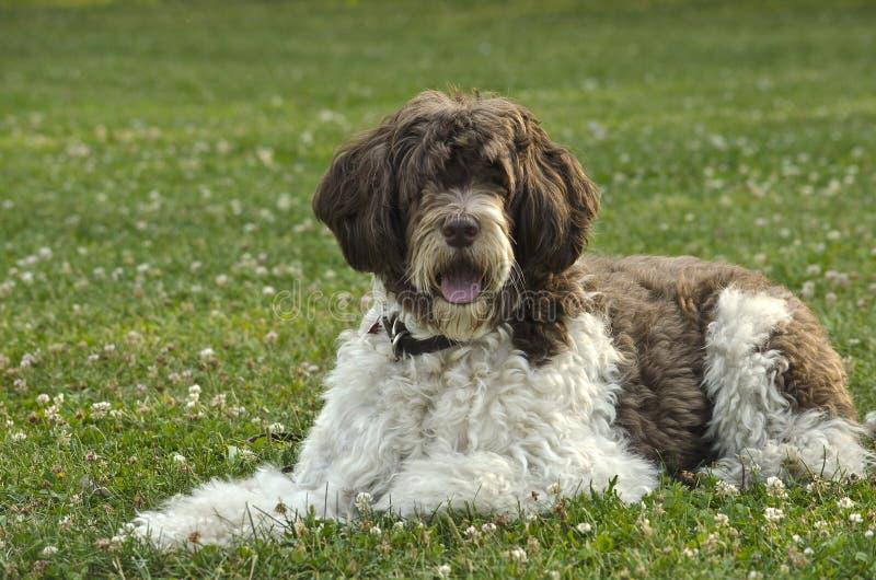 Potuguese hund för vatten fotografering för bildbyråer