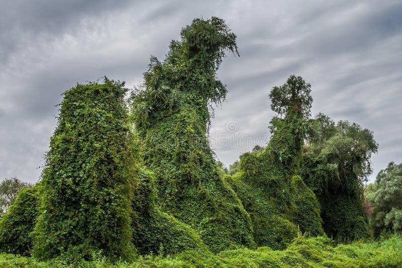 Potworów przyglądający drzewa, pełzacze, Danube delta, Rumunia, HDR obraz royalty free
