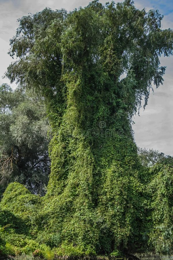 Potworów przyglądający drzewa, pełzacze, Danube delta, Rumunia, HDR zdjęcia royalty free