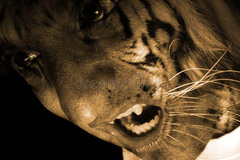 potwora tygrys fotografia royalty free