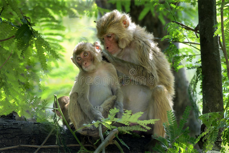 Pou de cueillette de macaques-mère de rhésus photos stock