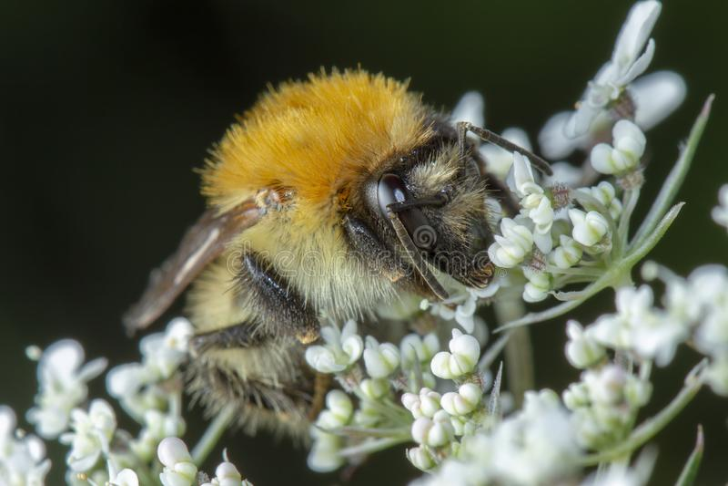Pouca abelha do mel que recolhe o pólen nas flores brancas imagens de stock