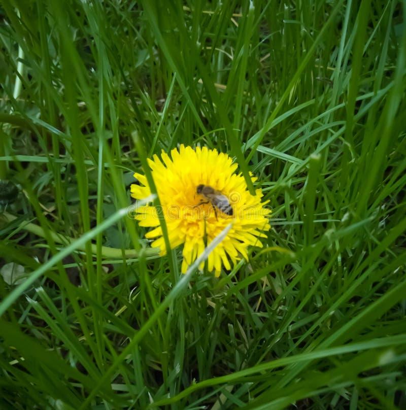 pouca abelha no dente-de-leão foto de stock