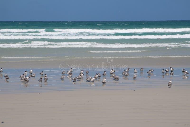 Pouca andorinha-do-mar com crista na praia bonita do cabo Bridgewater, Austrália fotos de stock