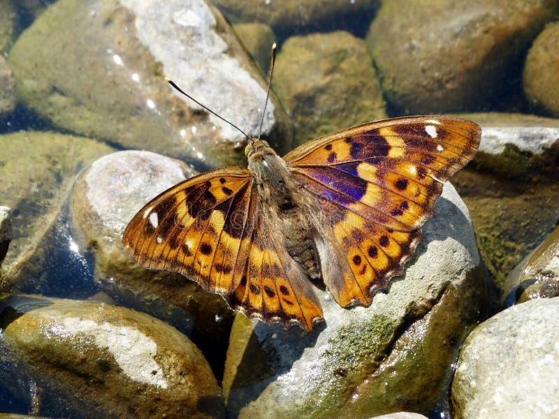 Pouca borboleta de imperador roxo imagem de stock