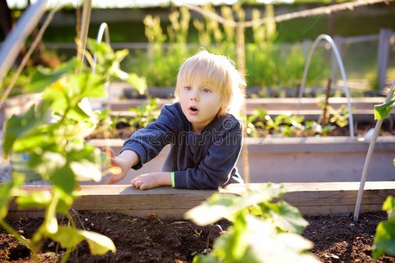 Pouca criança está na horta da comunidade Camas aumentadas do jardim com as plantas no jardim vegetal da comunidade imagem de stock