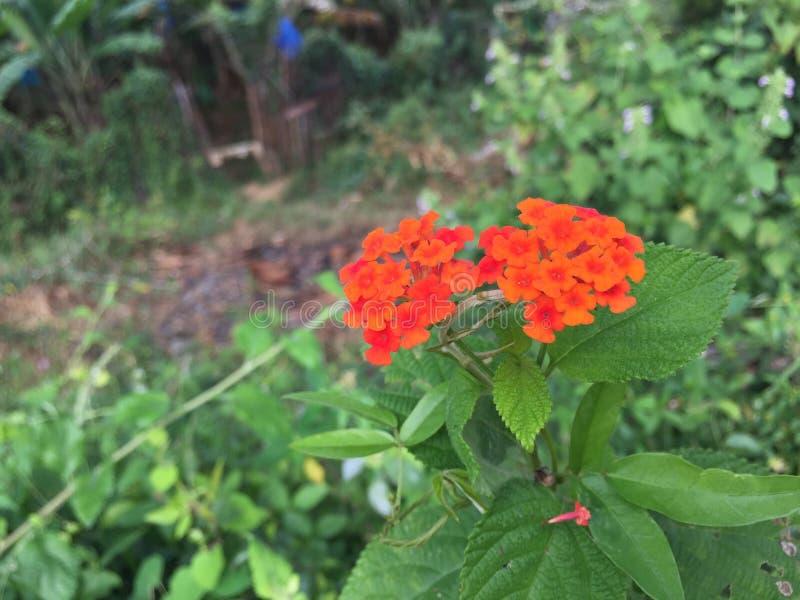 Pouca flor vermelha da astúcia em Sri Lanka foto de stock