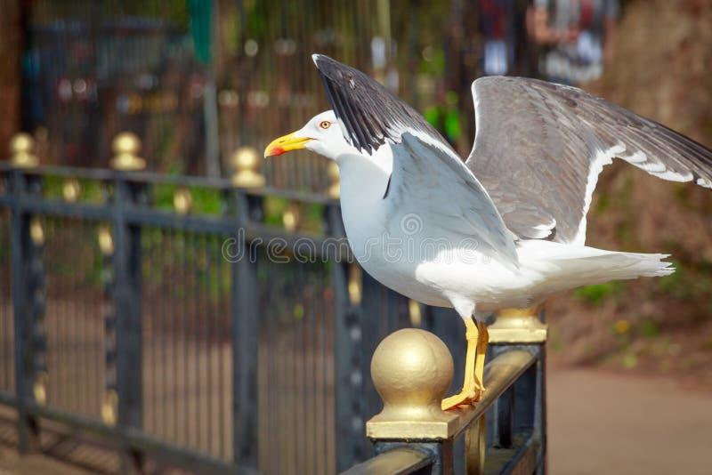 Pouca gaivota com o dorso negro com asas abertas
