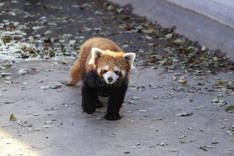 Pouca panda imagem de stock