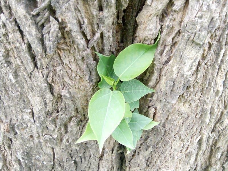 Pouca planta em uma árvore grande, parece como lá é uma mãe no regaço fotos de stock